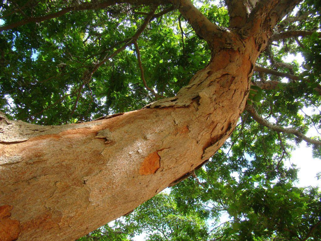 Árvore de pau-brasil