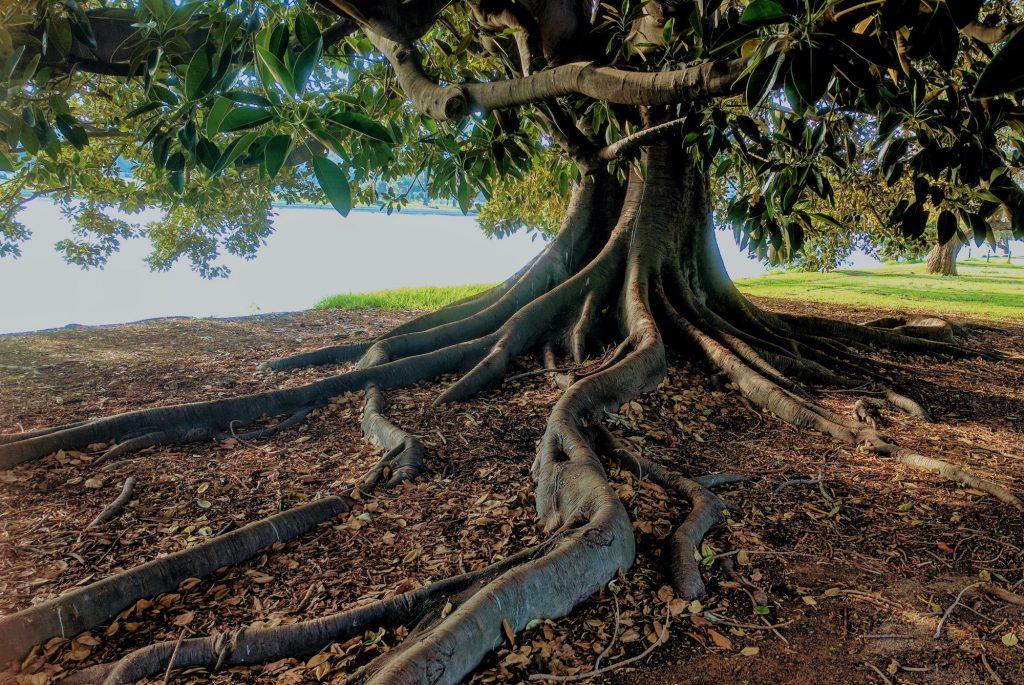 Árvore com raízes sobressalentes