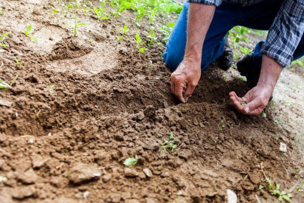 Homem plantando sementes no solo