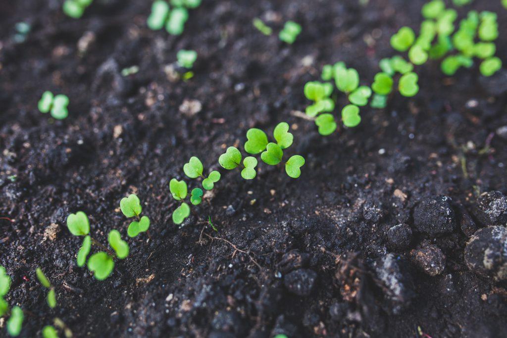 Pequenas mudas crescendo na terra