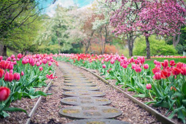 Caminho em jardim ladeado por belas tulipas rosadas
