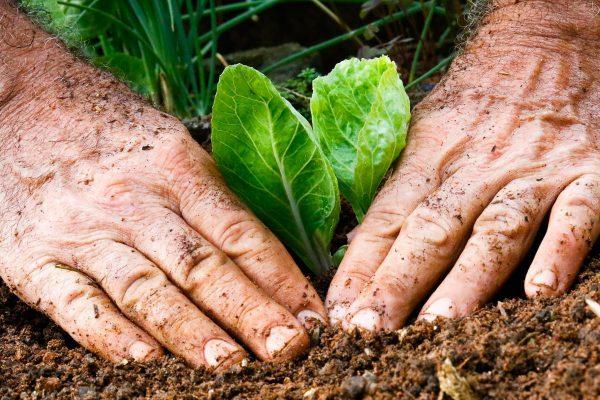 Mãos plantando muda de vegetal no solo de uma horta