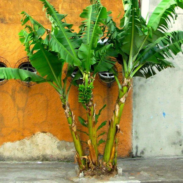 Bananeira na calçada