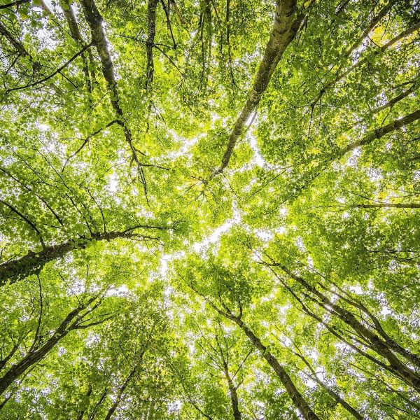 Copas de árvores vistas de baixo para cima